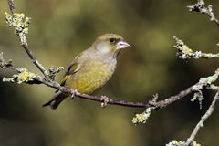 Greenfinch, Carduelis chloris Zdjęcia Royalty Free