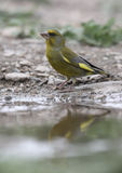 Greenfinch, Carduelis chloris Obraz Royalty Free