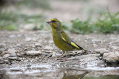 Greenfinch, Carduelis chloris Fotografia Stock