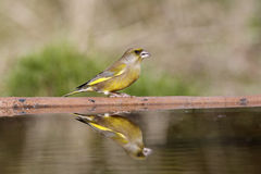 Greenfinch, Carduelis chloris, Obraz Stock