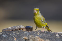 Greenfinch (Carduelis chloris). Is a small passerine bird in the finch family Fringillidae. The length is approx. 14.5 cm and weighs between 25 and 31 grams royalty free stock images