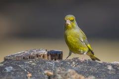 Greenfinch (Carduelis-chloris) Royalty-vrije Stock Afbeeldingen