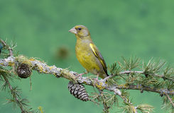 Greenfinch, carduelis chloris Fotografia Royalty Free