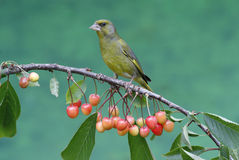 Greenfinch, carduelis chloris Zdjęcie Stock