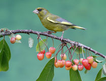 Greenfinch, carduelis chloris Obrazy Stock
