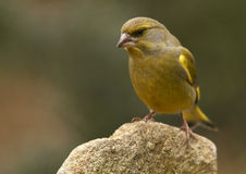 Greenfinch- (Carduelis chloris). Small bird sitting on stone Stock Photos