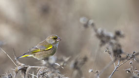 Greenfinch (Carduelis chloris) Obrazy Stock