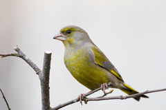 Greenfinch (Carduelis chloris) Stock Photo