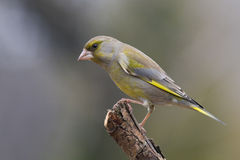 greenfinch carduelis chloris Obrazy Royalty Free