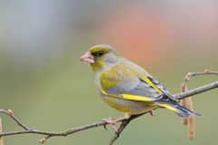 Greenfinch (Carduelis Chloris) Lizenzfreie Stockfotos