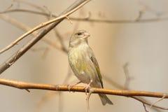 Free Greenfinch - Carduelis Chloris At Dawn Stock Photo - 138881170