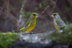 Greenfinch (Carduelis chloris) on birch trunk for natural backgr Royalty Free Stock Photo