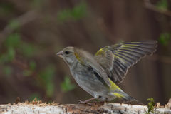 Greenfinch (Carduelis chloris) on birch trunk for natural backgr Stock Photo