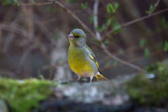 Greenfinch (Carduelis chloris) on birch trunk for natural backgr Royalty Free Stock Photos