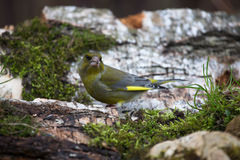 Greenfinch (Carduelis chloris) on birch trunk for natural backgr Royalty Free Stock Photography