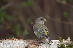 Greenfinch (Carduelis chloris) on birch trunk for natural backgr Stock Images