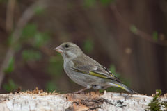 Greenfinch (Carduelis chloris) on birch trunk for natural backgr Stock Photos