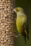 Greenfinch Carduelis chloris, male Royalty Free Stock Image