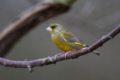 Greenfinch, Carduelis chloris Stock Photos