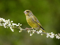 Greenfinch, Carduelis chloris. Single bird on blossom, Warwickshire, April 2012 stock photo