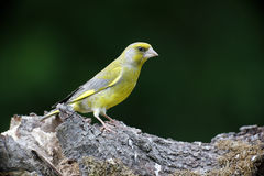 Greenfinch, Carduelis chloris,. Single bird on branch, Bulgaria, May 2013 royalty free stock images
