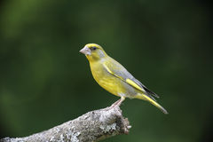 Greenfinch, Carduelis chloris,. Single bird on branch, Bulgaria, May 2013 royalty free stock photography