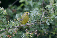 Greenfinch, Carduelis chloris, Royalty Free Stock Photo