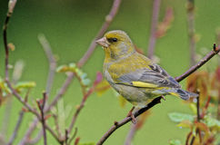 Greenfinch, Carduelis chloris. Single bird on branch, West Midlands, winter stock photo
