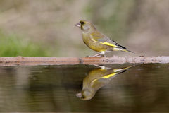 Greenfinch, Carduelis chloris, Royalty Free Stock Photos