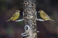 Greenfinch, Carduelis chloris Stock Images