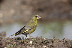 Greenfinch, Carduelis chloris. By water stock image