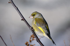 Greenfinch, carduelis  cloris Royalty Free Stock Images