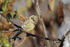 Greenfinch, carduelis  cloris Stock Image