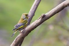 Greenfinch (Carduelischloris) Fotografering för Bildbyråer