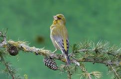 Greenfinch carduelischloris arkivfoton