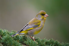 Greenfinch on cedar Royalty Free Stock Images