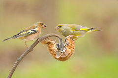 Greenfinch and chaffinch Royalty Free Stock Photo