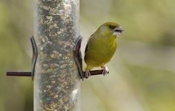 greenfinch chlor carduelis Стоковые Изображения RF