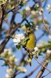 greenfinch chloris carduelis Стоковая Фотография RF