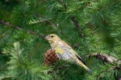 greenfinch chloris carduelis Стоковые Изображения