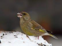 greenfinch chloris carduelis Стоковые Фото