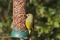 greenfinch chloris carduelis Стоковая Фотография