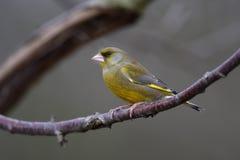 Greenfinch, chloris Carduelis Στοκ Φωτογραφίες