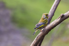 Greenfinch (chloris Carduelis) Στοκ εικόνα με δικαίωμα ελεύθερης χρήσης