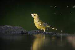 Greenfinch, chloris Carduelis Στοκ φωτογραφία με δικαίωμα ελεύθερης χρήσης