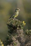 Greenfinch, chloris Carduelis Στοκ εικόνες με δικαίωμα ελεύθερης χρήσης