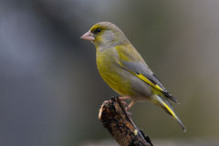 greenfinch chloris carduelis Стоковое Фото