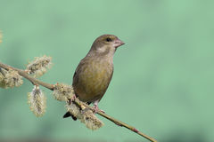 Greenfinch, chloris carduelis Στοκ Εικόνα