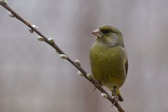 Greenfinch - Chloris Chloris Stockbilder
