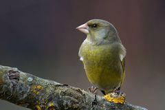 Greenfinch - Chloris Chloris Stockbild